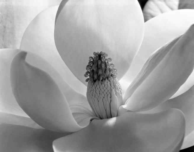 Magnolia Blossom by Imogen Cunningham