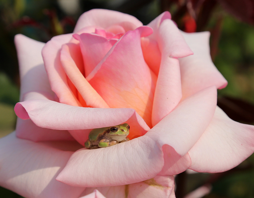 every now and then... you gotta stop and smell the roses... and the frog!